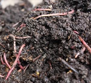 Дождевые черви разлагают органику и производят компост