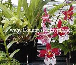 Орхидеи для начинающих, как создать коллекцию орхидных: http://www.countrysideliving.net/ART_Orchids_Jan08.html