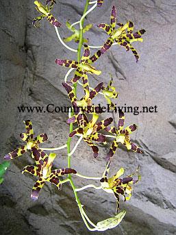 Ansellia gigantea nilotica. Орхидея Анселлия гигантская