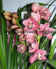 Cymbidium. Орхидея Цимбидиум. Цимбидиумы относительно трудно заставить цвести в домашних условиях
