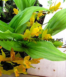 Орхидея ликасте ароматная (Lycaste aromatica)