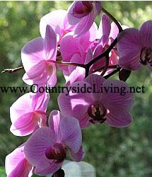 Phalaenopsis. Орхидея Фаленопсис у меня дома. Подаренный фаленопсис цветет по 2 раза в год очень долго, вызывая восхищение домашних и гостей