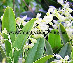 Pleurothallis amparoana. Орхидея Плеуроталлис