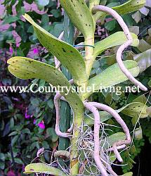 Renanthera. Орхидея Ренантера, воздушные корни, растущие по длине ствола