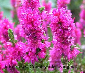 Вереск обыкновенный Уход посадка фото растения Вереск