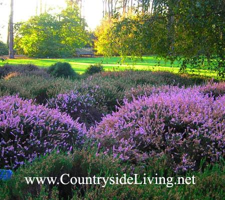 Эрика и вереск - отличные почвопокровники. Эрики и верески в цвету, Ботанический сад Уизли, г-во Суррей, ю.Англия