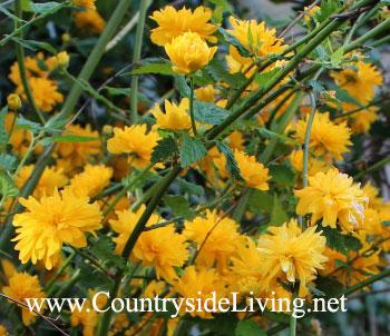Kerria japonica. ����� �������� - ���������� ����
