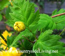 Kerria japonica. ����� �������� � ����� � ���� ����, ������ 2007 �.