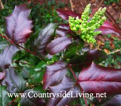 Магония падуболистная (Mahonia aquifolium), март
