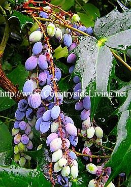 Магония гибридная, ягоды. Mahonia x media