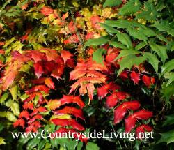 Магония японская гибридная, осенний окрас листьев