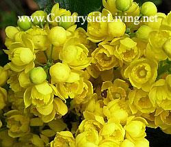 Магония ползучая (Mahonia repens), цветы. Эта магония 'переползла' к нам в сад от соседей