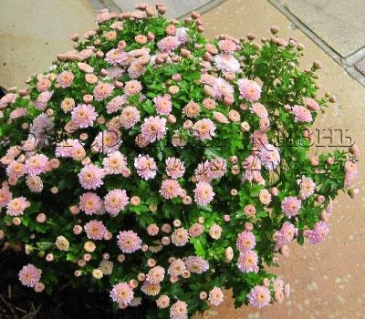 Хризантема кустовая садовая