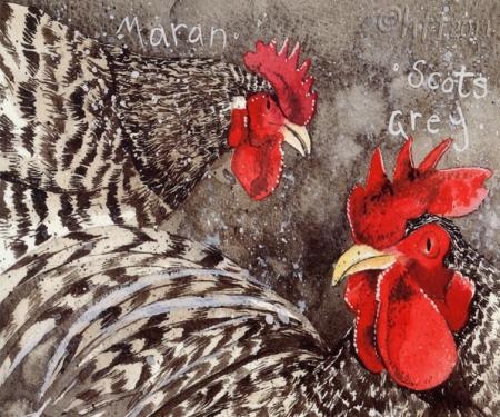 Породы кур: лучшие кроссы несушек. Курицы породы маран (Maran), открытка