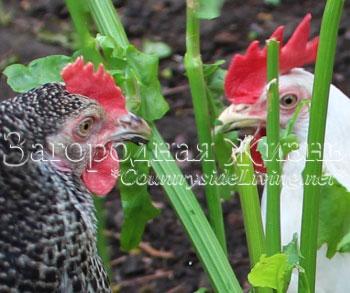 Чем кормить кур. Зелень - важная подкормка для куриц несушек