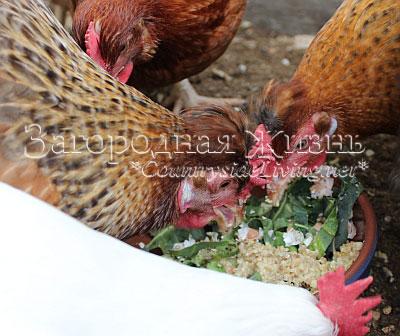 Чем кормить кур. Подкормки для кур несушек. Кухонные отходы