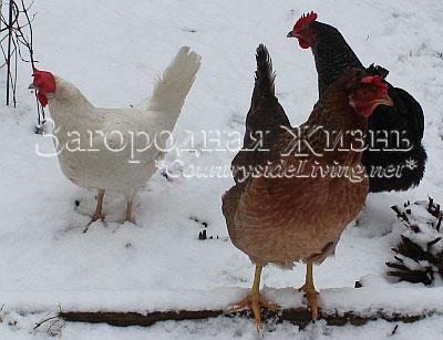 Куры зимой. Содержание кур зимой