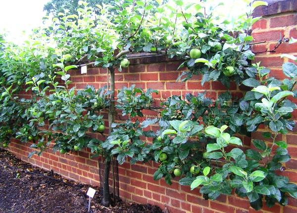 Яблоня, выращиваемая на опоре в виде шпалеры
