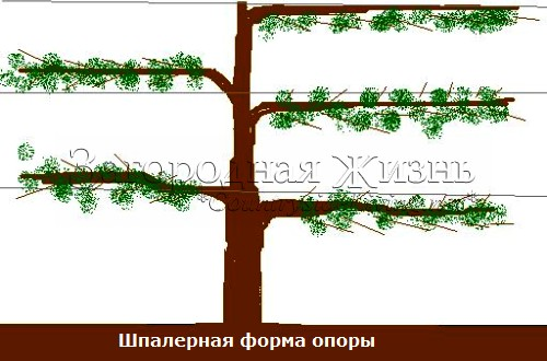 Шпалерная форма опоры. Выращивание плодовых деревьев и кустарниках на опорах в виде шпалеры