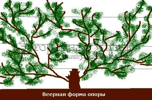 Веерная форма опоры. Выращивание плодовых деревьев и кустарниках на опорах в виде веера
