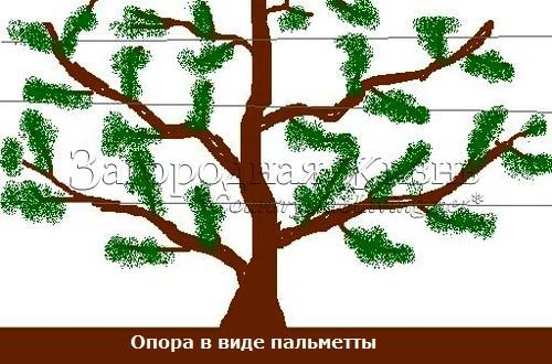 Опора в виде пальметты. Выращивание плодовых деревьев и кустарниках на опорах в виде пальметты