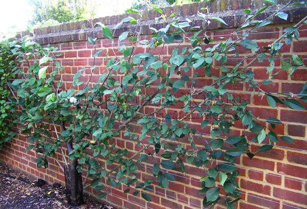 Вишня, выращиваемая на опоре в форме веера
