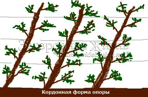 Кордонная форма опоры. Выращивание плодовых деревьев и кустарниках на опорах в виде кордона