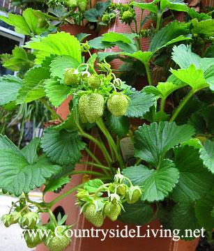 Выращивание клубники в бочке-клубничнике. Начало мая