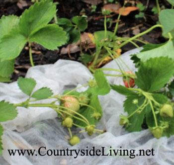 Клубника, выращивание в открытом грунте. Мульчирование флисом