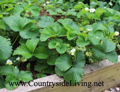 Клубника, выращивание на высоких насыпных грядах. Мой сад