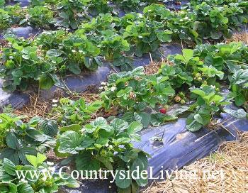 Клубника, выращивание в открытом грунте. Высокие гряды с пленочным мульчированием