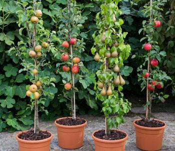 Яблони и груши в форме колонны в горшках для кордонов (кордонного метода выращивания на опорах)