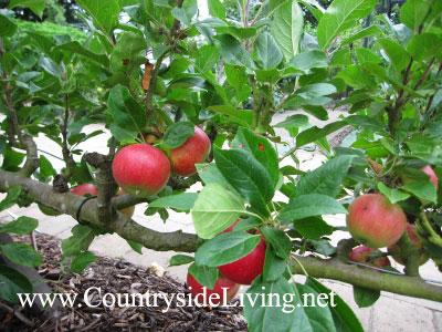 Сад на шпалерах плодовые деревья на