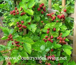 Ежемалина (гибрид ежевики и малины) в саду