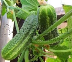 Огурцы - выращивание, посадка, уход. В открытом грунте и теплице