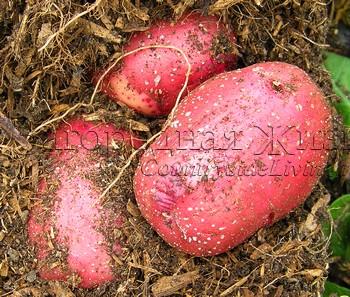 Картофель. Выращивание в мешках, бочках, соломе. Красный сорт Duke of York на моем огороде