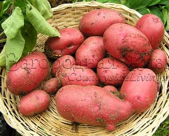 Картофель, выращивание. Сорт Red Duke of York, который я вырастила в контейнере
