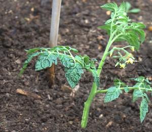 Томаты (помидоры), выращивание. Томаты из пасынков