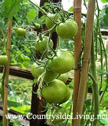 Tomatos green - Томат, помидор