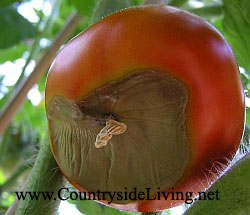 Болезни и вредители помидоров. Вершинная гниль томата