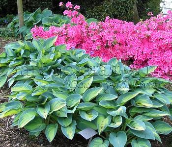 Азалия и хоста - отличное сочетание. Ботанический сад Уизли, г-во Суррей, Англия
