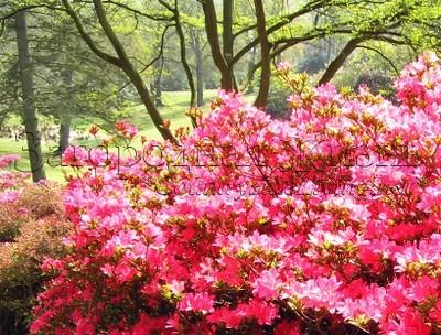 Азалия. Парк Вирджиния Уотер, Большой Виндзорский парк, г-во Суррей, Англия