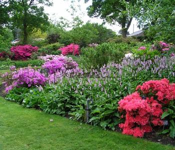 Азалии в Ботаническом саду Уизли, г-во Суррей, Англия