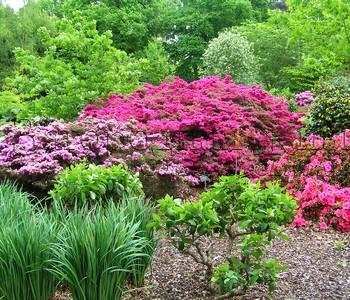 Азалии в Ботаническом саду Уизли (RHS Garden Wisley), г-во Суррей, Англия