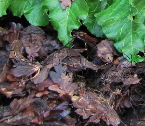Мульчирование грунта опавшими листьями