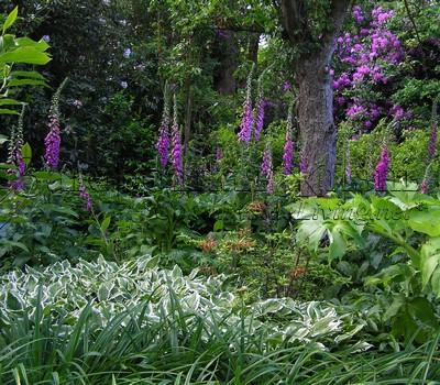 Теневыносливые и тенелюбивые растения (хоста, наперстянка, рододендрон, дудник (анжелика) в тенистой зоне природного сада. Уизли, ю. Англия