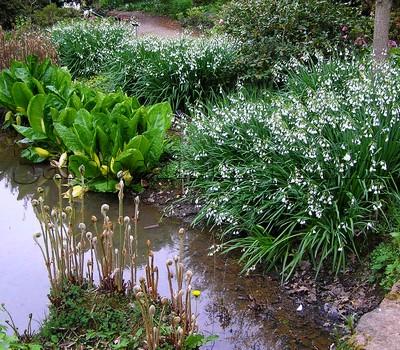 Водоем в естественном саду. Лизихитум американский (почвопокровник) по берегам водоема. Цветущая магнолия