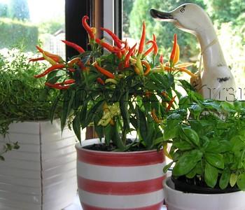 Красный перец табаско у меня на кухонном окне рядом с тимьяном и базиликом