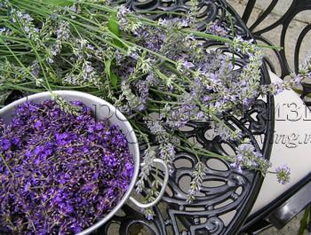 Сухоцветы. Лаванда засушенная