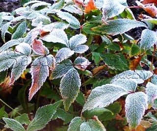 Астильба хороша даже в ноябре. Листья астильбы, покрытые инеем. Ноябрь в моем саду